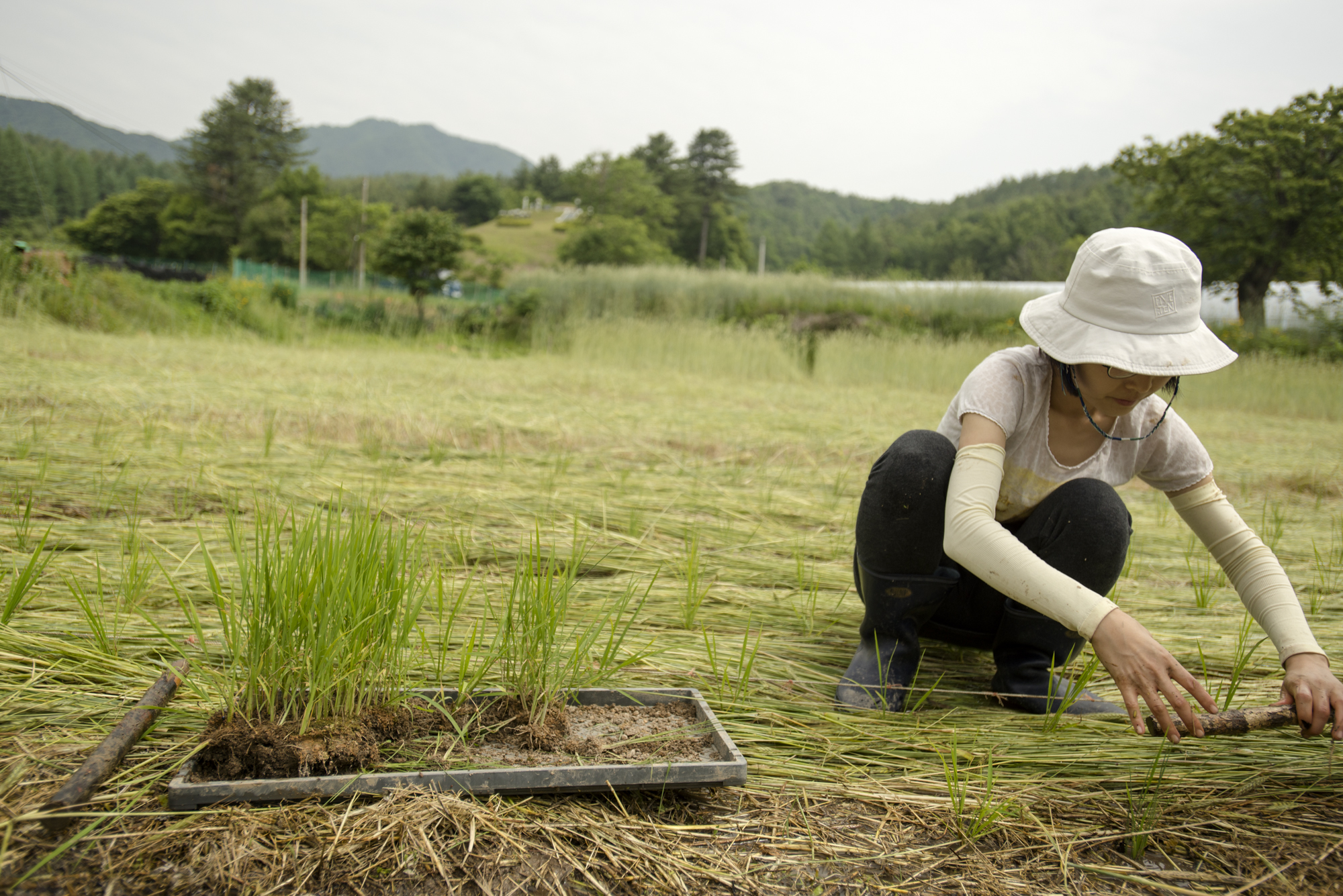 A community member working on a natural rice field in South Korea (P.M. Lydon, FinalStraw.org, CC BY-SA)