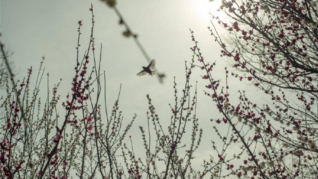 A bird crosses above early spring plum blossoms in Osaka, Japan | photo by P.M.Lydon