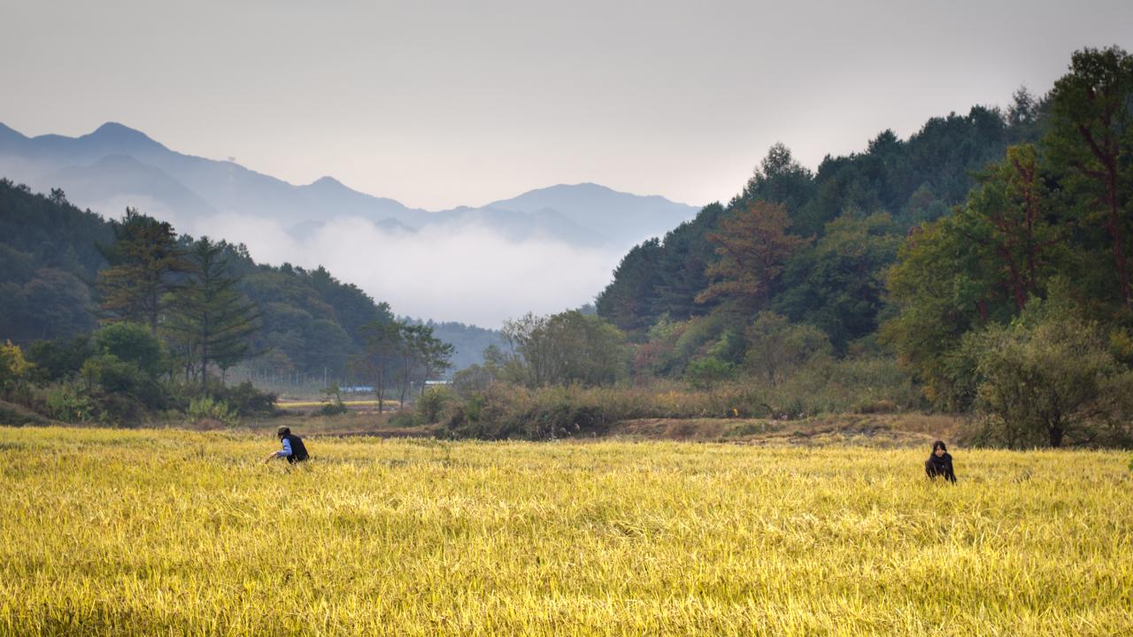 The morning of rice harvest at Seonghyun Choi's natural farm in South Korea (photo: P.M. Lydon | CC BY-SA)