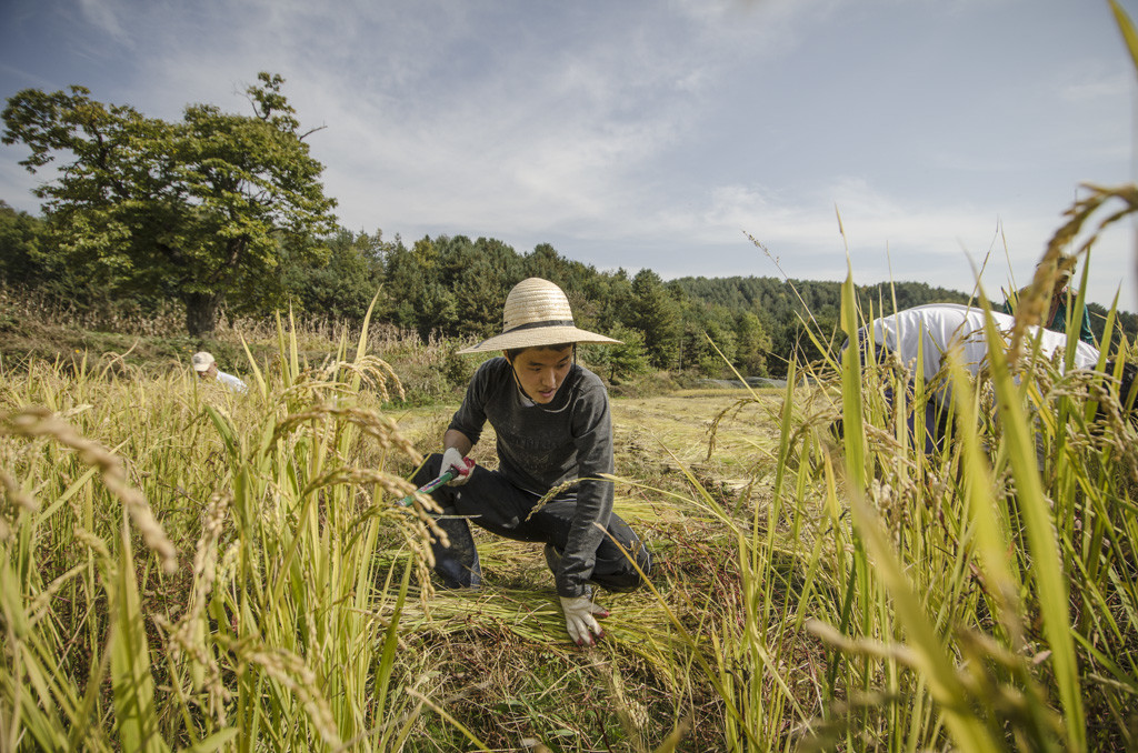 Rice harvest on a natural farm in South Korea, film still from Final Straw: Food, Earth, Happiness