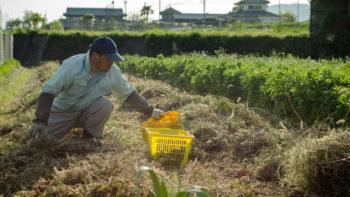 Kazuaki Okitsu on his natural farm in Shikoku, Japan (photo: P.M. Lydon, Final Straw)