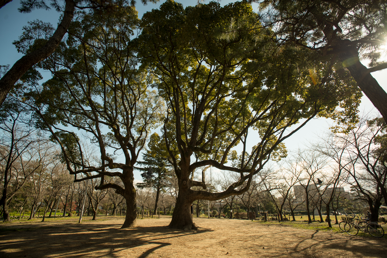 Our favorite tree on a morning in early Spring in Osaka, Japan. Photo: Patrick M. Lydon, cc by-sa