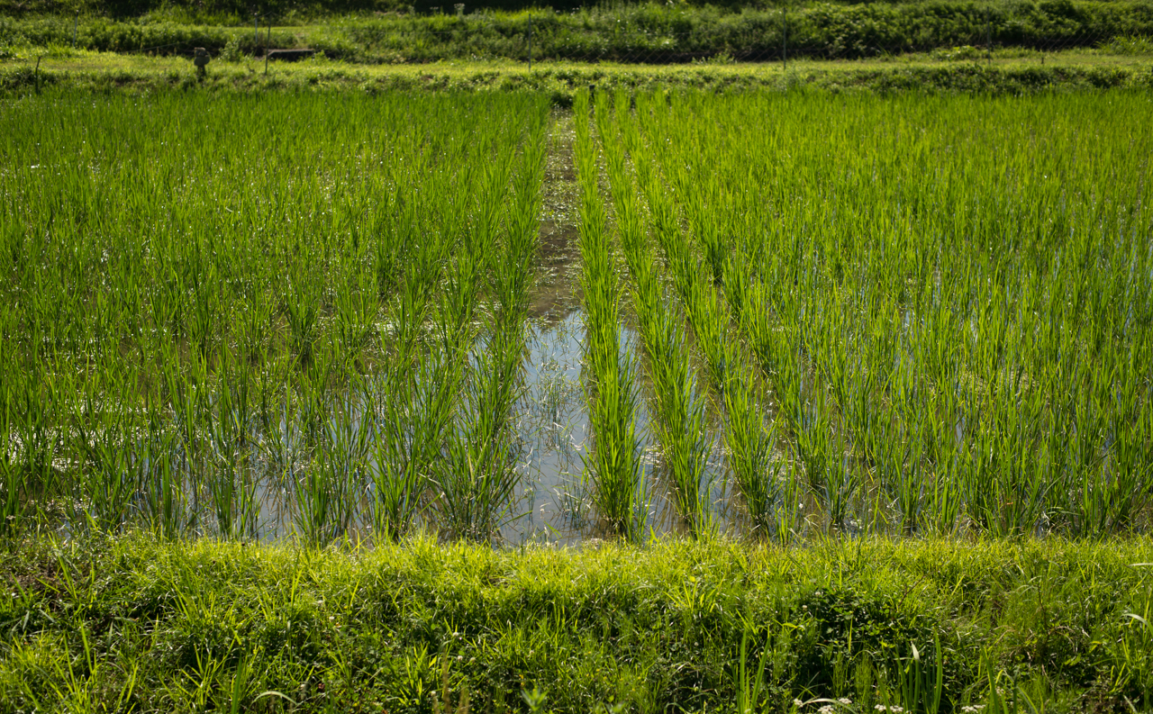 "Onami san's hand-cultivated, organic rice fields, with deep green ""Happy Hill"" rice growing on the left side."
