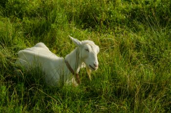 A young goat in the field in Urugi Village   image: Suhee Kang